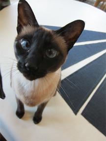 Ferocity the Siamese cat helps me cut out a dress